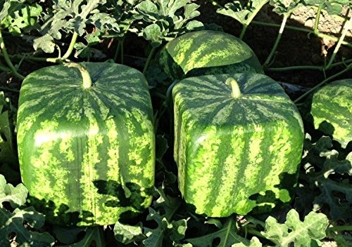 (Large Watermelon Mold Square Shape)