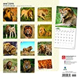 Lions 2018 12 x 12 Inch Monthly Square Wall Calendar, Wildlife Jungle Zoo Animals