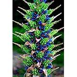 Puya Berteroniana Alpestris Sapphire Tower Turqoiuse Blue 10 Seeds Amazing Flowers RARE !