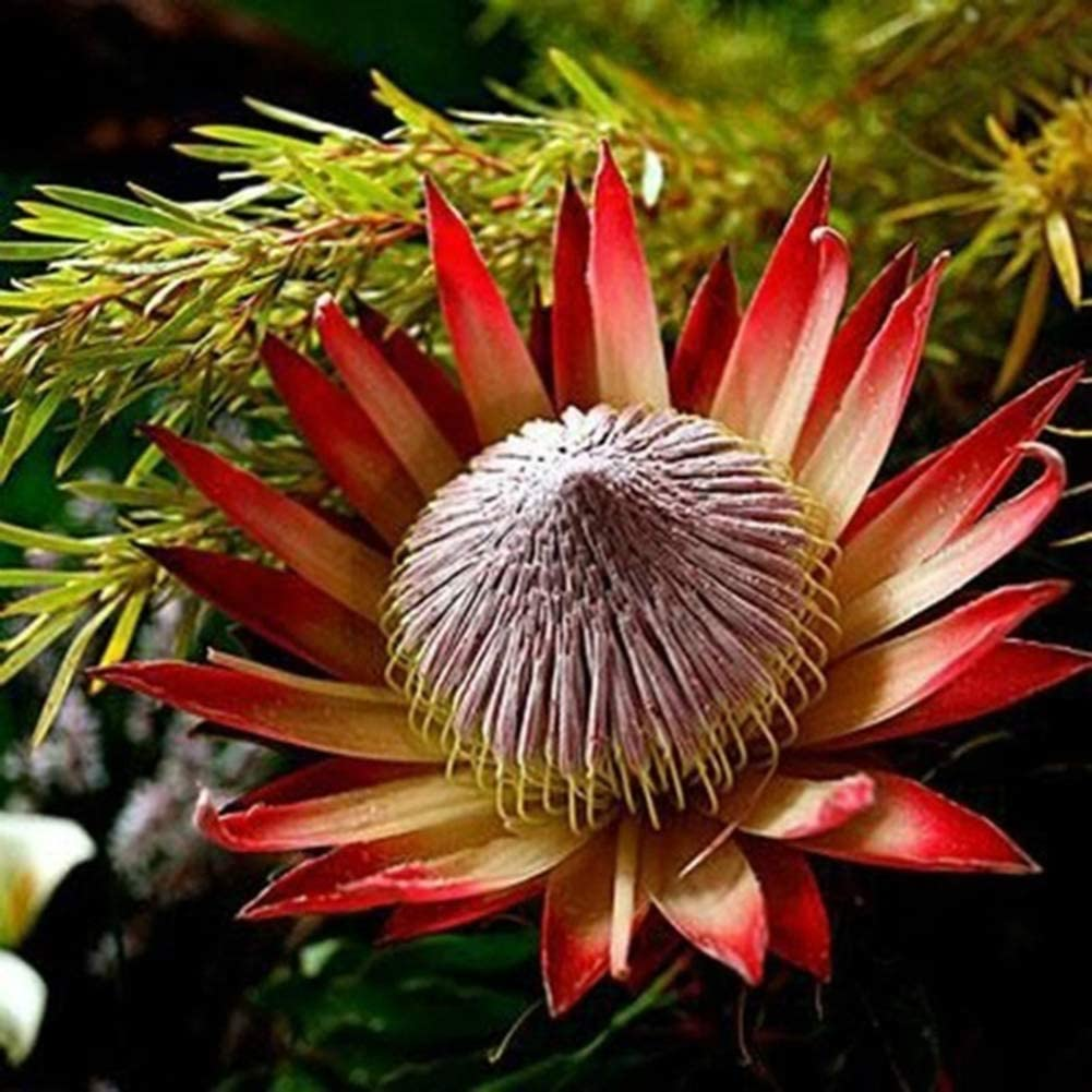 50 Unids Semillas De Protea Cynaroides De Color Mixto Decoraci/ón De Jard/ín De Oficina De Flor De Planta Semillas de Protea Cynaroides