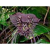 10Pcs Funny Rare Black Bat Tacca Chantrieri Whiskers Flower Seeds Garden Plants