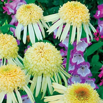Echinacea Seeds - SECRET JOY - Perennial Coneflower - Fragrant Blooms - 15 Seeds