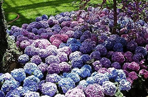 Green Seeds Co. Hydrangea 300PCS Mixed Hydrangea plants Flores Jardín Planta Bonsai Viburnum macrocephalum Fort Envío gratuito: Negro: Amazon.es: Jardín