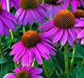 Autumn Ballet Coneflower Seeds (Echinacea) 50 Seeds Upc 650327337459