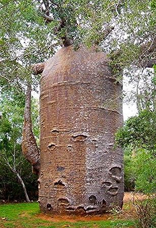 Great Bonsai Baobab 4 Seeds Boab Adansonia Gregorii