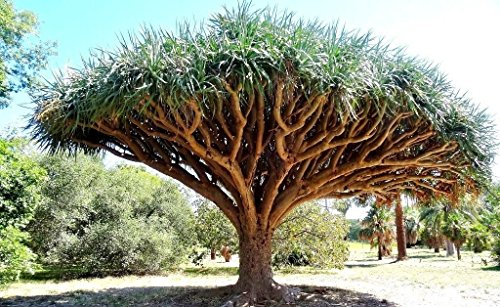 Dragon's Blood Tree, Dracaena draco rare Canary Island palm bonsai seed 10 SEEDS