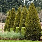 Cutdek Chinese Juniper Tree Seeds (Juniperus chinensis) 25+Seeds