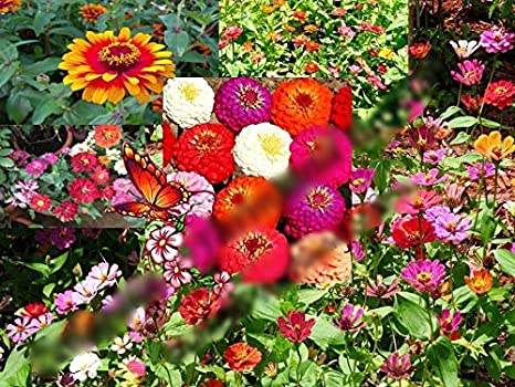 Amazon.com : Zin Master Zinnia Flower Mix 19k Seed : Garden ... on petunia garden bed, sunflower garden bed, zinnia mix flower bed, sweet pea garden bed,