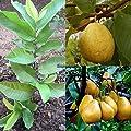 Portal Cool 10 X White Florida Pear Guava Tropical Fruit Tree Seeds Psidium Guajava Ehe8 01