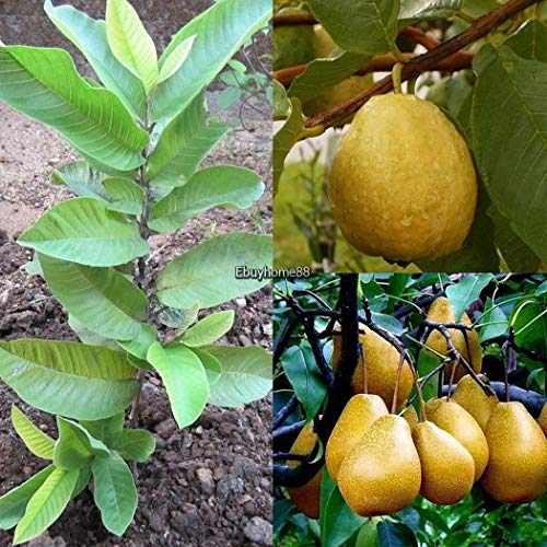 Portal Cool 10 X White Florida Pear Guava Tropical Fruit Tree Seeds Psidium Guajava Ehe8 01