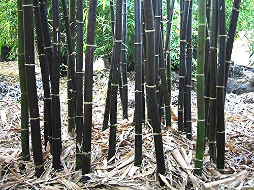 (Rare Fresh Black Bamboo Seeds Phyllostachys Nigra 100+ seeds)