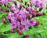Purple Flebame,Kalijiri (seed) Indian Herb,Vernonia anthelmintica,Ironweed(1000 Seeds)