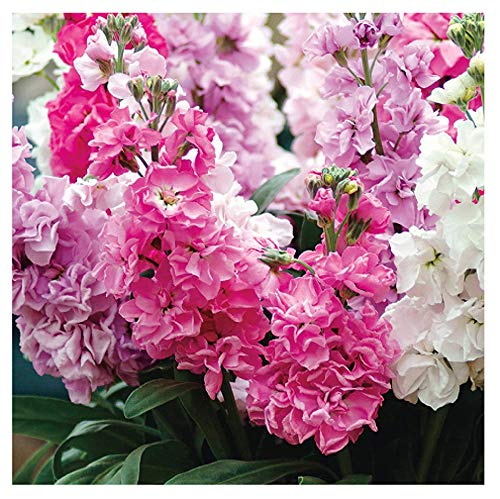 - David's Garden Seeds Flower Stock Katz Formula Mix SL3729 (Multi) 50 Non-GMO, Open Pollinated Seeds