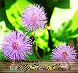 30 x MIMOSA PUDICA SENSITIVE PLANT Flower Seeds - Sensative Leaves Responds To Touch - Quality Seeds By MS.CO ...