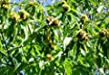 American Chestnut Tree - Hybrid - Heavy Established - 2 Gallon Potted - 1 Plant - 1 Plant by Growers Solution