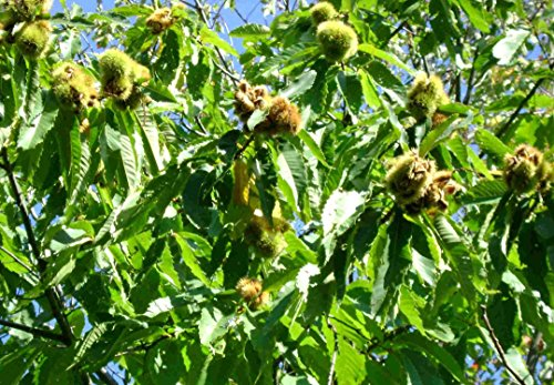 Sourwood Trees (American Chestnut Tree - Hybrid - Castanea dentata X mollissima - Heavy Established - 2 Gallon Potted - 1 Plant - 1 Plant by Growers Solution)