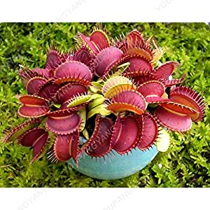 200 SEEDS - 100% Genuine Eat Cordyceps Dionaea Muscipula Clip Venus Flytrap Seeds Carnivorous Perennial Plant Seeds in Bonsai Burgundy