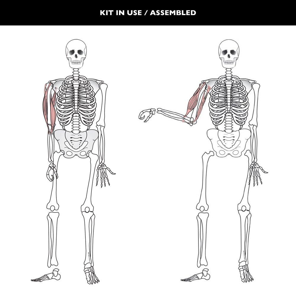 Speak Easies Human Skeleton Board Kit Amazon Industrial
