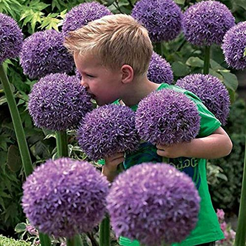 CAIUET Seed house - Rare Giant Ornamental Flowers Seeds Garden Colorful Allium giganteum Seeds