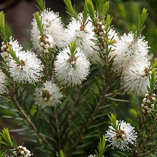 Australian Tea Tree Seeds (Melaleuca alternifolia) 50+ Medicinal Herb Seeds in FROZEN SEED CAPSULES for the Gardener & Rare Seeds Collector - Plant Seeds Now or Save Seeds for Years (Tree Tea Plant Australian)