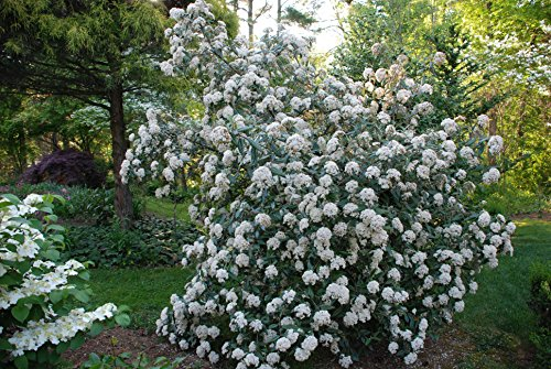 Pragense Viburnum - Live Plants - Lot of 10 Shrubs 2 Feet Tall - Prague Hedge by DAS Farms