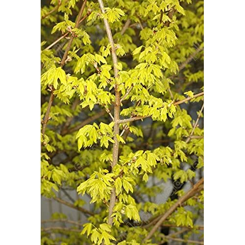 Dwarf Hedge Maple Acer Campestre Postelense Reaches Only 8