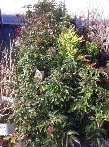 Amazoncom Compact Oregon Grape Holly Mahonia Aquifolium