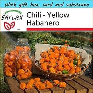 SAFLAX - Gift Set - Chili - Yellow Habanero - 10 seeds - Capsicum chinense