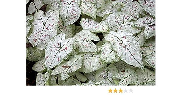 Amazon Com Strawberry Star S Caladium 5 Bulbs Excellent For