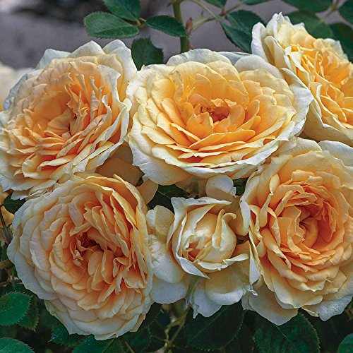 Edith's Darling Rose Bush - Downton Abbey Series - Fragrant Apricot Yellow Flowers Grown Organic Potted - Stargazer ()