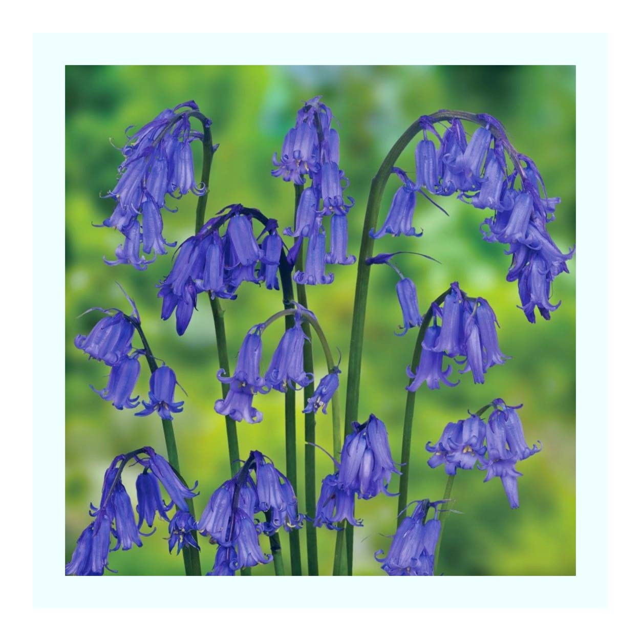 English Bluebell Seeds X APROX 1000 RIPE Fresh Seed Sold by PLUG PLANTS EXPRESS LIMITED leegillard