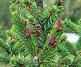 Rare Serbian Spruce Tree - Picea omorika - Quart Pot