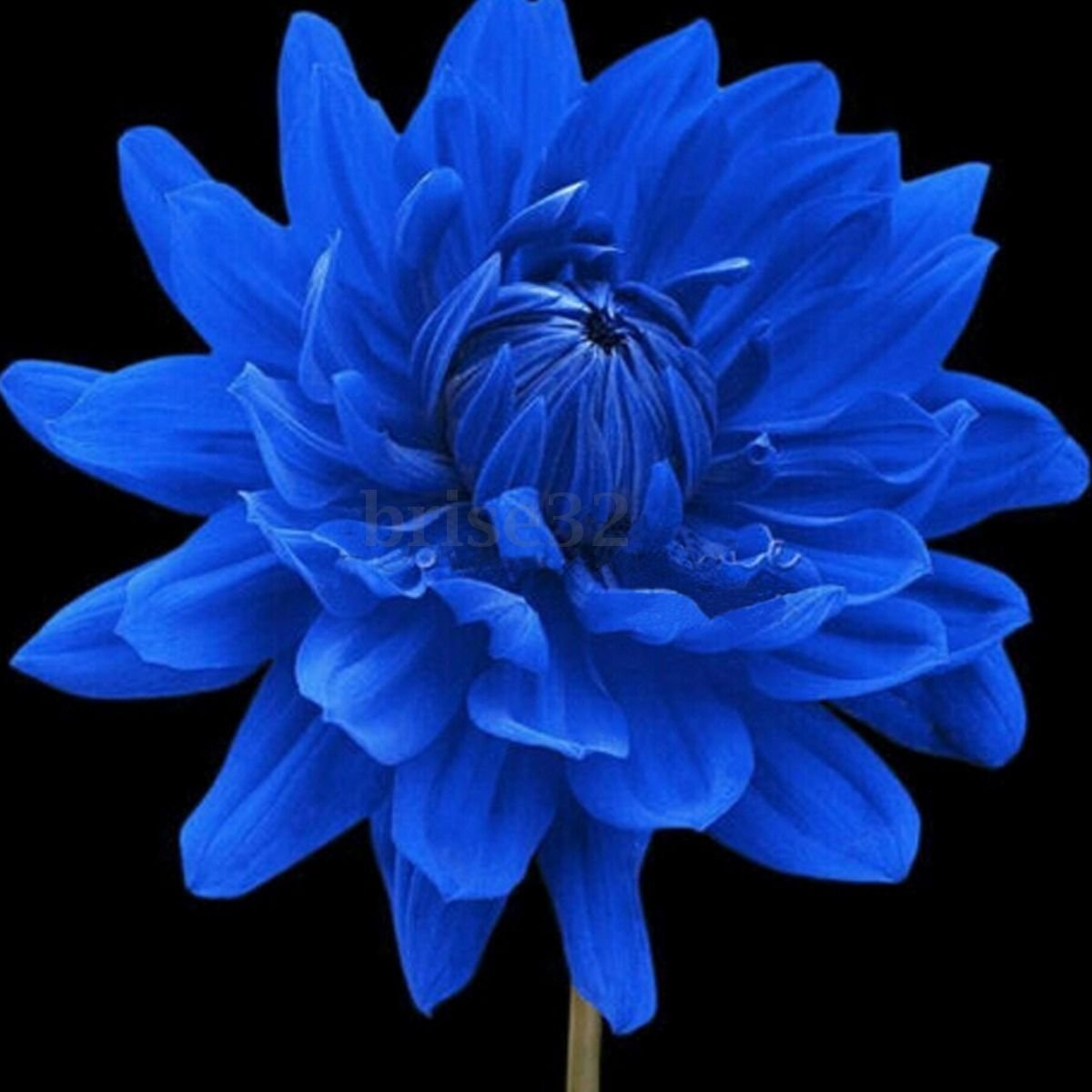 Amazon Rare Blue Dahlia Annual Flower Seeds Home Garden Diy