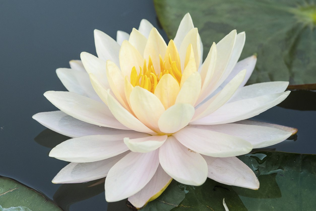 Amazon 10 white lotus nymphaea ampla asian water lily pad amazon 10 white lotus nymphaea ampla asian water lily pad flower pond seeds garden outdoor izmirmasajfo