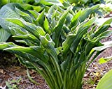 Praying Hands Hosta – Healthy 4″ Potted Plant – Perennial – Flower – Garden – Border – Each 1 By Growers Solution For Sale
