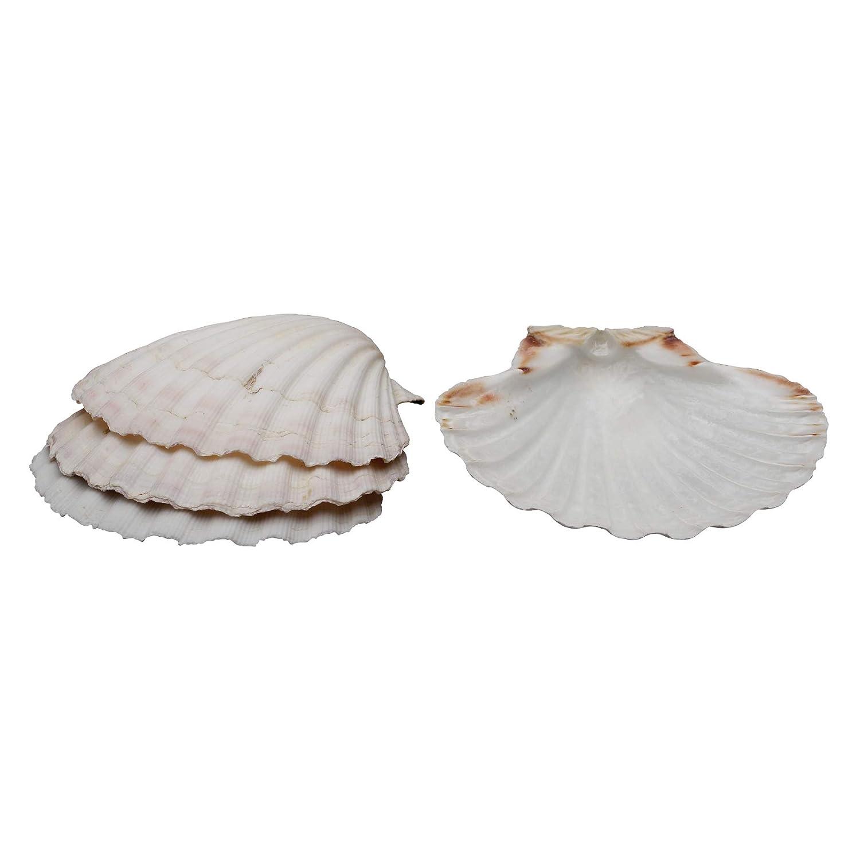 HIC Harold Import Co. 45679 HIC Harold Import Company Baking Shells (Set of 8), 4, Natural Seashell