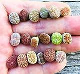Pack of 8 Live Mini Exotic Lithops Plant