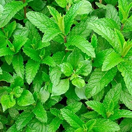 100+ Samen Grüne Minze Mentha spicata Spearmint