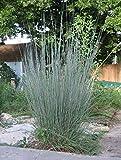 Cheap Schizachyrium scoparium | Little Bluestem | Bunchgrass | 100_Seeds