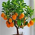 Cheap! Fruit seeds Orange Tree Seeds DWARF WASHINGTON NAVEL Grow Indoors or Outdoors 30pcs