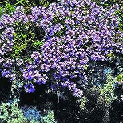 Hot - Creeping Mother of Thyme 100 Seeds Organic, Perennial, Herb - Deer Resistant! Fragrant Purple Flowers.Thymus Serpyllum : Garden & Outdoor