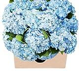 Blooms2Door 15 Blue Hydrangeas (Farm-Fresh, Naturally Colored, Premium Quality)