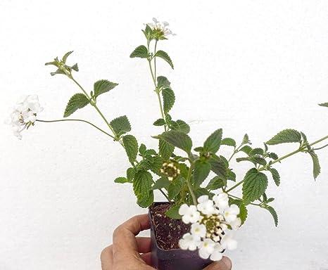 Amazoncom Lantana Plants Trailing Lavender White Gold