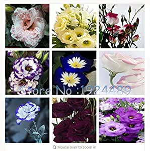 fino shop Eustoma Seeds Perennial Flowering Plants Lisianthus Multicolor for DIY Home & Garden - 120 PCS