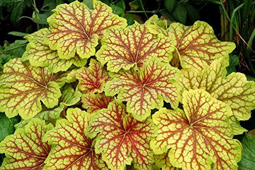 (Red Lightning Coral Bells - Heuchera - Shade Perennial - Gallon Pot)