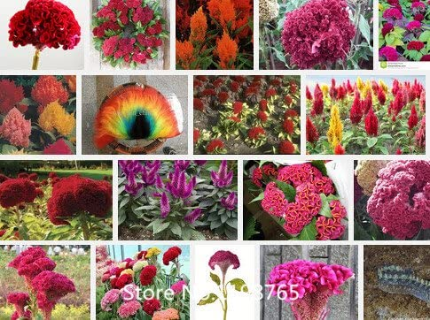 Promoción de 500 semillas Cockscomb (Celosia) - Color de la mezcla, el jardín de DIY semillas de flores de plantas, de color brillante, novela de Semillas: Amazon.es: Jardín