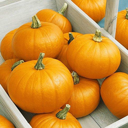 Everwilde Farms - 40 Small Sugar Pumpkin Seeds - Gold Vault Jumbo Seed Packet (Pumpkin Sugar Pie)