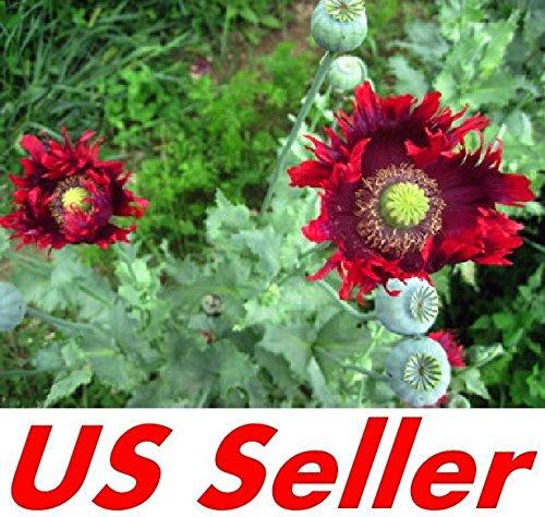 (250 Seeds G127, Drama Queen Poppy Seeds)