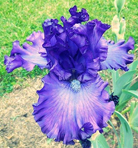 Emperor Iris -