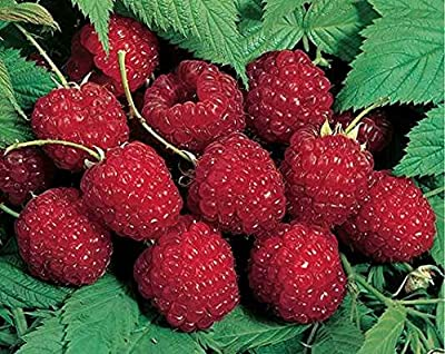 Raspberry Plants Nova - Summer Bearing (3 Bare Root Plants for $16.98) - Delicious Super Sweet Berries!